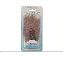 Rostlina Red Foxtail Plus 15 cm 1ks  VÝPRODEJ