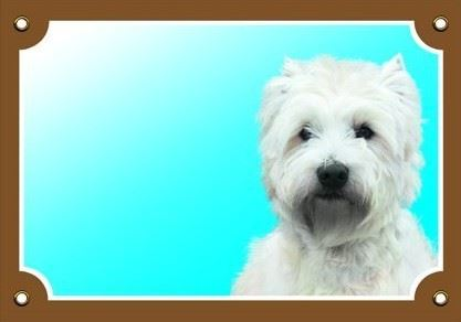 Barevná cedulka Pozor pes West highland white terier