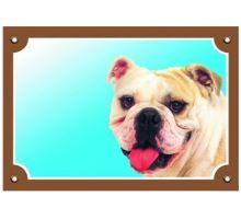 Barevná cedulka Pozor pes Buldog anglický